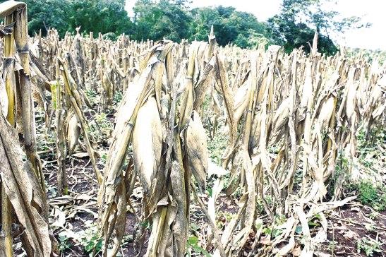 La falta de lluvias afectó drasticamente la cosecha de maíz y frijol.